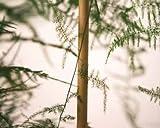 Tutor bambú natural ø2,50 18/20mm