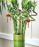 Semillas mixtas de bambú de la suerte (50un)