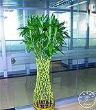Paquete de 100 semillas de Bambú de la suerte