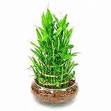 6 tipos de semillas de bambú de la suerte (30un)