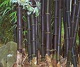 Bambusa lako, 50 semillas de bambú negro de Timor