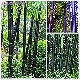 Phyllostachys, 50 semillas de bambú negro