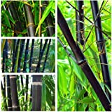 Phyllostachys Nigra Bonsai, 100 semillas de bambú negro