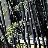Phyllostachys pubescens, 100 semillas de bambú negro