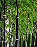 Phyllostachys nigra - bambú negro - 100 semillas