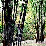 Phyllostachys Nigra, 100 semillas de bambú negro
