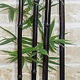 Lako moso, 50 semillas de bambú negro