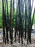Timor bambusa, 100 semillas de bambú negro