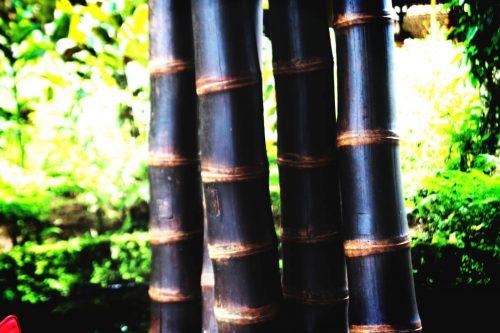 bambu-negro
